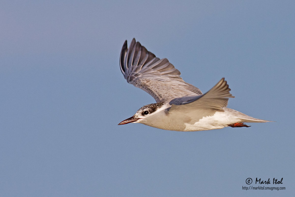 """Another shot of a <b>Whiskered Tern</b> (<i>Chlidonias hybridus</i>) in a """"not-so-standard"""" wing position."""